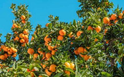 Orange Trees in the Desert